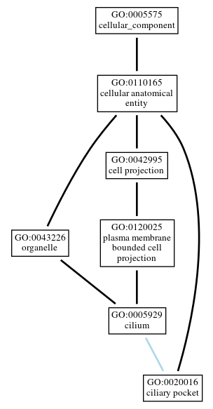 Graph of GO:0020016